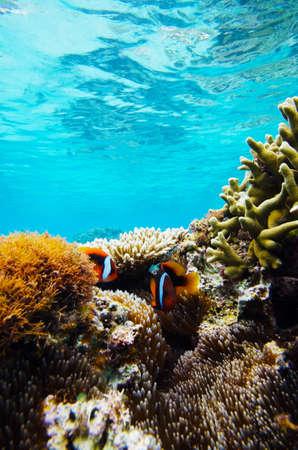 Sea Anemone and Oneband Anemonefish-Amphiprion frenatus, Okinawa Prefecture Japan Stock Photo