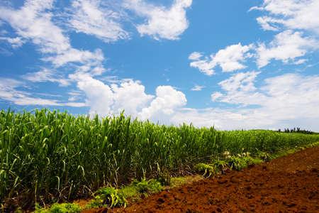 Officinarum Sugar Cane Field-Saccharum, Prefectura de Okinawa Japón Foto de archivo - 26330815
