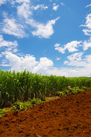 Sugar Cane Field-Saccharum officinarum, Okinawa Prefecture Japan