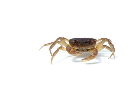 freshwater: Japanese Freshwater Crab-Geothelphusa dehaani, on white background.
