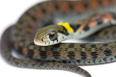 juveniles: Tiger Keelback-Rhabdophis tigrinus, on white background. Stock Photo
