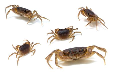 crustacea: Japanese Freshwater Crab-Geothelphusa dehaani, on white background.
