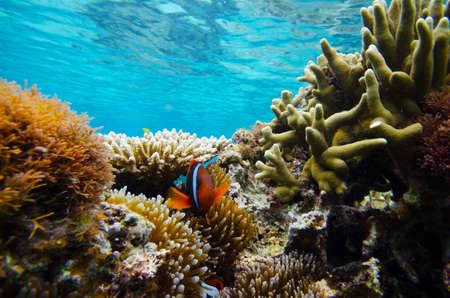 Anemonefish in Coral Reef-Amphiprion frenatus, Okinawa PrefectureJapan, 2013617.