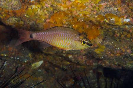 Spotnape Cardinalfish-Apogon notatus, Kanagawa PrefectureJapan