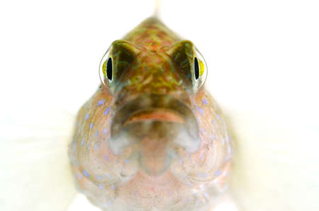 bluespotted: The Face of Starry Goby-Asterropteryx semipunctata, on white background. Stock Photo
