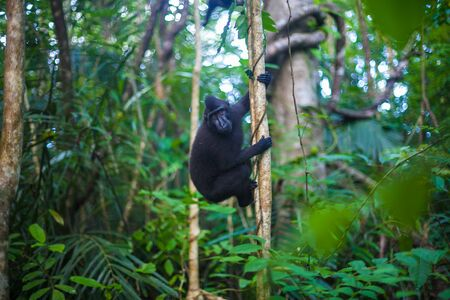biped: Photo Black Monkey Climbing in a Tree Jungle. Nature Background. Horizontal Stock Photo