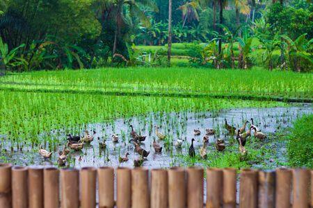 tegalalang: Photo of rice terrace, Bali, Indonesia horizontal