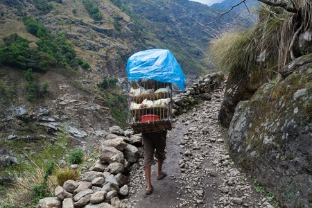 sherpa: Nepalese Sherpa Hiking Mountain Trail Village Path.Young Man Climbing Loaded Bags Track Traveler Beautiful Noth Asia.Summer Landscape Background.Horizontal Photo