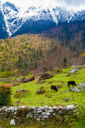 Landscape View Mountains Hiking Himalayas.Beautiful End Summer Season Background.Vertical Photo.Threes Cloudy Sky Mountainous Terraces.Black Cows Grazing Green Meadow.No body Image. Stock Photo