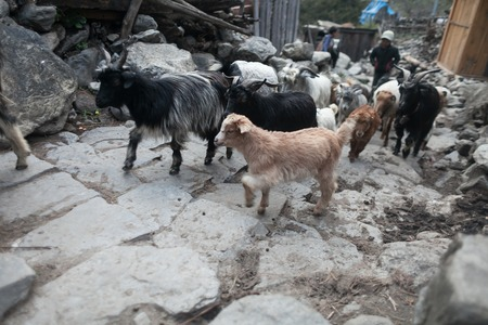 Caravan Animal Goats Crossing Village. Horizontal Photo.Caravan Animal Goats Crossing Village. Horizontal Photo.Blurred