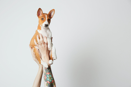 Woman with tattooed arm holds up a basenji puppy dog isolated over white. Copy paste space