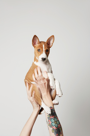 Woman with tattooed arm holds up a basenji puppy dog isolated over white.