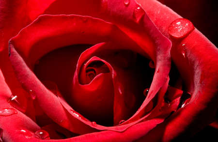 close up of a rose bud with water droplets photo