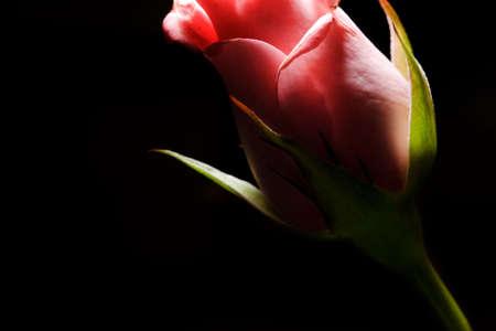rose bud: uno sideview di una pesca gemma rosa su un fondo scuro  Archivio Fotografico