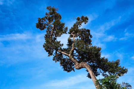 crooked: a lonely crooked tree on a blue cloudless background