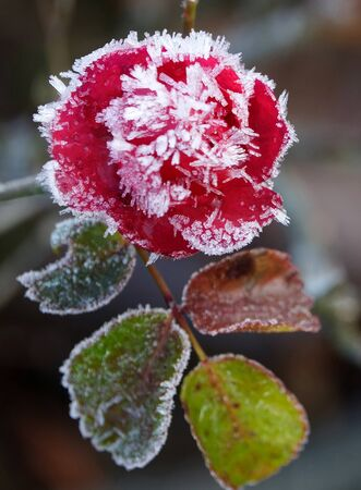 fragility: Fragility Rose frozen in nature