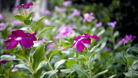 purple rose: purple rose periwinkle in garden