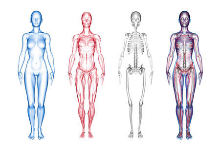 Super high resolution 3D render of female anatomy. Three part break away views. First section is the skin, second is muscle (and soft tissue), third section is skeleton. Forth is a composite of all three layers. Models include subtle details of genitalia.