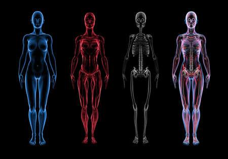 Super hoge resolutie 3D render van de vrouwelijke anatomie. Drie deel uit te breken weg uitzicht. Eerste deel is de huid, de tweede is spier (en weke delen), derde deel is het skelet. Forth is een composiet van de drie lagen. Modellen zijn voorzien van subtiele details van genitaliën. Stockfoto