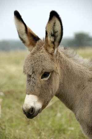burro: Baby Donkey