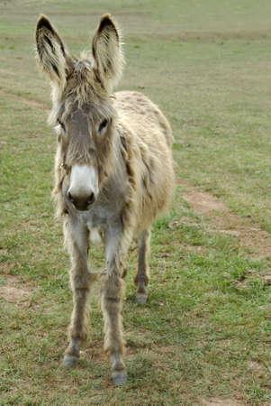 Shaggy Donkey Reklamní fotografie - 1260913
