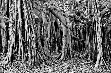 banias: Large Banyan Tree Grove in Black and White Stock Photo