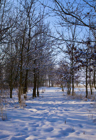 Snow-covered, tree-lined path on a sunny winters day