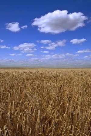 wheatfield: Field of ripe wheat under blue sky Stock Photo
