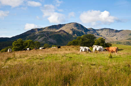 lake district: Cows grazing in a pasture below Lingmoor Fell with Wetherlam in the background. English Lake District