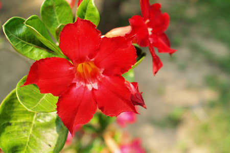 impala lily: Adenium obesum or Common name  Desert Rose and Impala Lily