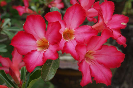 glowering: Adenium obesum or Common name  Desert Rose and Impala Lily
