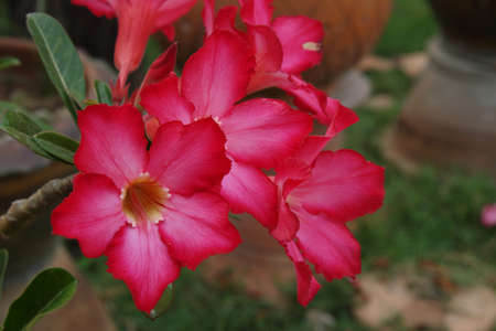 Adenium obesum or Common name  Desert Rose and Impala Lily  photo