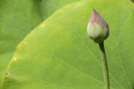 Lotus flower photo