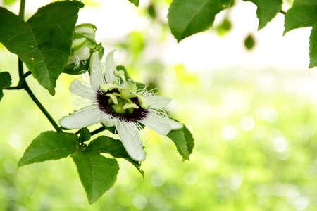 Passiflora flowers  photo