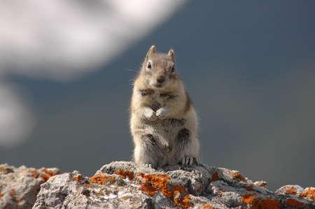 Cute chipmunk stands photo