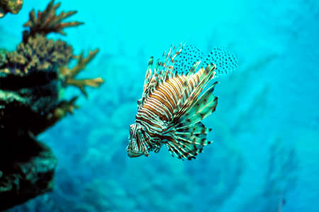 firefish: Pterois Fire-Fish Devil-Fish under water