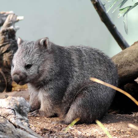 wombat: wombat lindo silvestre en Tasmania Australia Foto de archivo