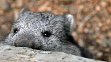 wombat: Wombat Sneaky mirando por encima de la valla