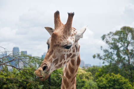 Head of long neck giraffe photo