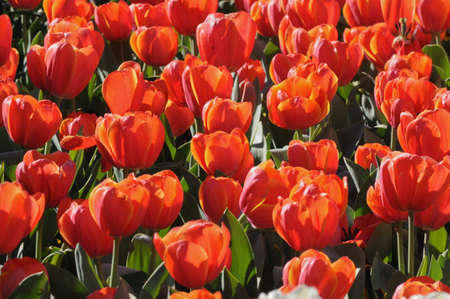 Red blooming tulips photo