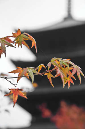 Red and orange maple leaves at Kyoto high rise temple in Autumn 写真素材