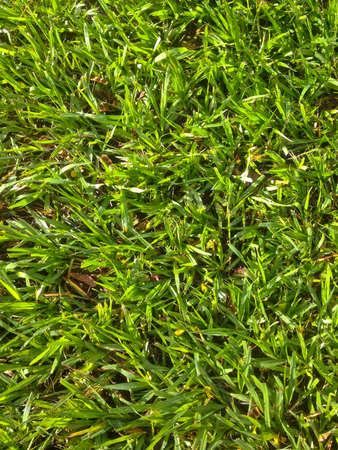 meadow  grass: Campo de hierba de la pradera verde