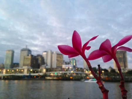Pink plumeria flower and Brisbane city scape in Evening