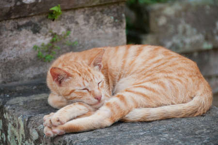 Gingle orange small cat sleeping on a stone wall fence Stock Photo