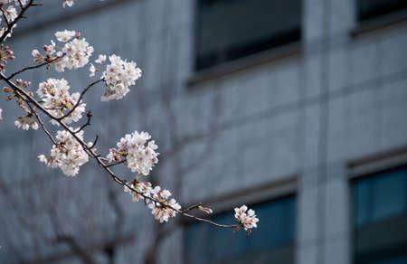 White Cherry blossom sakura tree with blur office background