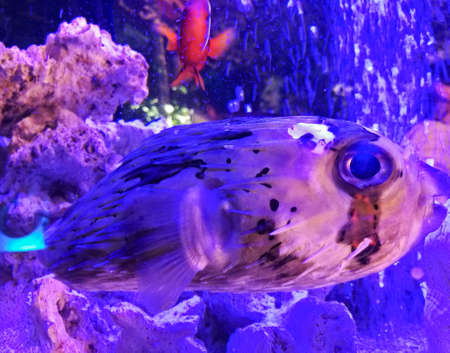 Blow porcupine fish floating in a fish tank