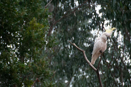 Beautiful white big cockatoo bird on tree branch