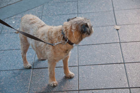 Young domestic brown dog turns left while standing on the street