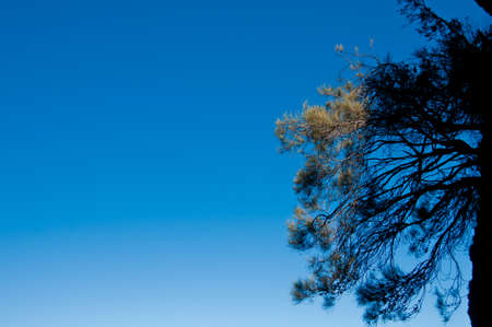 Blue sky in the afternoon with native Blue mountain fir cone belarusian tree in Sydney Australia Stock Photo