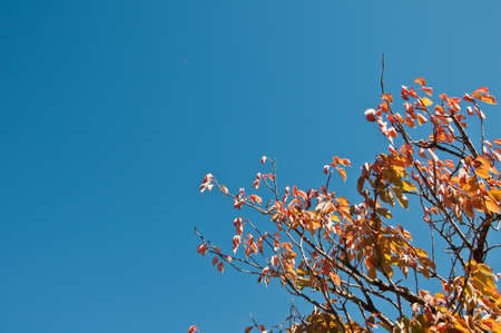 Red maple foliage in early Autumn with blue sky in Blue Mountain at Sydney Australia